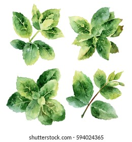 Set of mint sprigs isolated on white background. Watercolor illustration