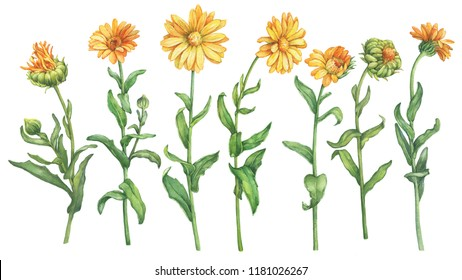 Set orange Calendula officinalis  marigold, ruddles flower. Watercolor hand drawn painting illustration isolated on a white background.