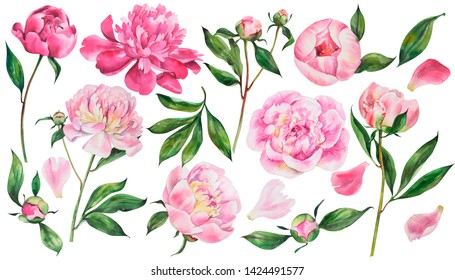 Set of peonies flowers on an isolated white background,  watercolor peony illustration, botanical painting