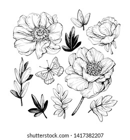 Set of peonies with leaves. Floral elements for design. Hand drawing with ink and pen.