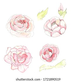 Set of peony watercolor roses with leaves and bud of hand drawn bouquets.