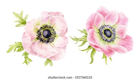 A set of pink anemone flowers with leaves. Spring delicate flowers. Watercolour illustration.