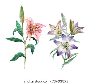 Set of pink and blue lilies with green leaves. Lily bud. Lily flower. Watercolor illustration isolated on white background.