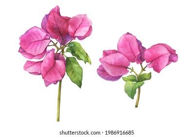 Set with pink Bougainvillea spectabilis flower branch. (the paperflower, primavera, buganvilia, veranera, roseiro, roseta). Watercolor hand drawn painting illustration isolated on white background.