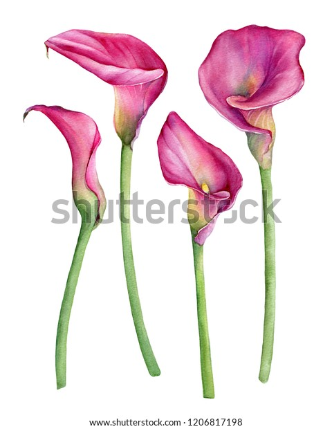 Set of pink calla lily Zantedeschia rehmannii flower. Watercolor hand drawn painting illustration isolated on a white background.