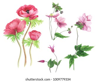 Set of pink flowers: anemones and  clematis watercolor painting. For design woman dress, textile. For cards and prints.