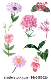 A set of pink isolated watercolor flowers on a white background.Here are garden, exotic and wild flowers, namely bouvardia, medinilla, arctotis, pyrethrum, stork's bill, eustoma and phlox.
