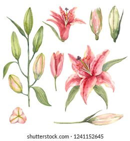 Set of Pink Stargazer Lilies and lily buds on a white background. Watercolor illustration.