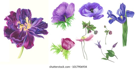 Set with pink and violet flowers: iris, tulips, anemones, clematis and leaves, watercolor painting