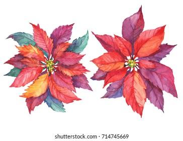 Set poinsettia flower (Euphorbia pulcherrima, Christmas Star of Bethlehem, Santa Claus Flower). Watercolor hand drawn painting illustration isolated on white background.