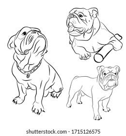 Set of portraits of English Bulldog dogs