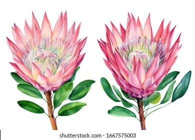 Set protea flower and leaves, isolated on white background. Botanical illustration. Hand painted watercolor.