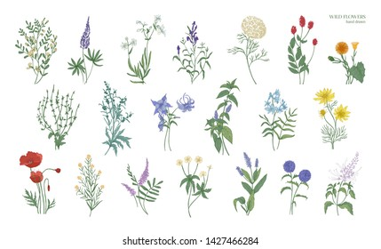 Set of realistic detailed colorful drawings of wild meadow herbs, herbaceous flowering plants, beautiful blooming flowers isolated on white background. Hand drawn botanical illustration