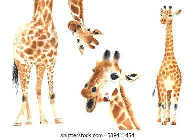 Set of Realistic giraffes made in watercolor. Hand drawn illustration