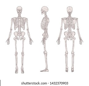 Set of realistic skeletons isolated on gray background. Anterior, lateral and posterior view. Concept of anatomy of human skeletal system. Illustration for educational or medical banner.