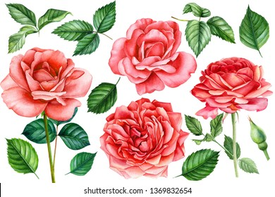 set of red roses flowers, leaves, bud on an isolated white background, watercolor hand drawing, botanical painting
