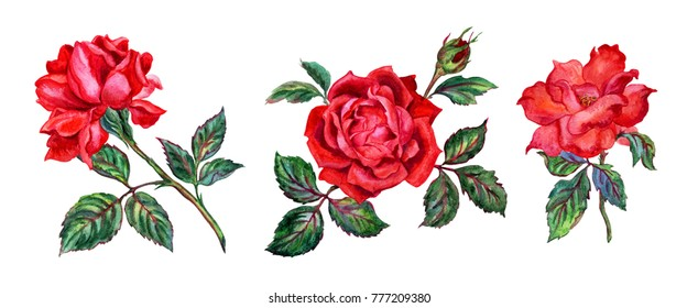 Set of red roses, watercolor illustration on white background, isolated with clipping path.
