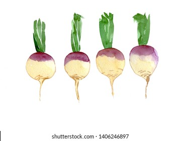 Set of rutabaga. Hand drawn watercolor illustration isolated on white background