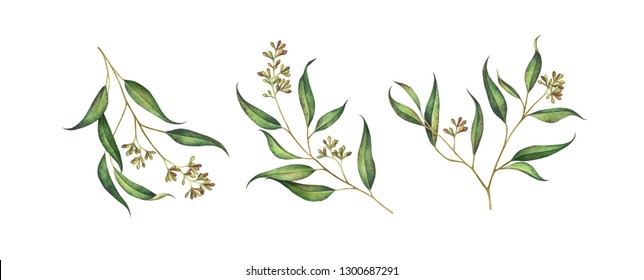 Set of seeded eucalyptus branches isolated on white background. Watercolor hand drawn illustration.
