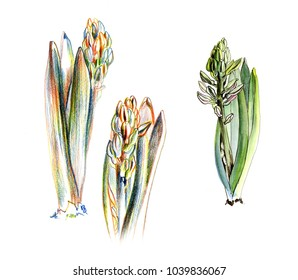 A set of sketches of hyacinth on white background