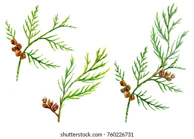 Set of small green twigs with cones of Thuja (arborvitae). Garden evergreen bush, Christmas decoration. Hand draw watercolor painting, botanical illustration, vintage