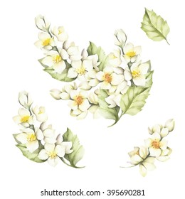 The set of the sprig of Jasmine.Watercolor illustration