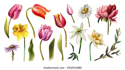Set of spring floral elements. Watercolor hand drawn illustration of tulips, daffodils, green leaves, chamomile, peony.