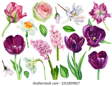 set of spring flowers on an isolated white background, burgundy tulips, rose, magnolia, daffodils, hellebore, hyacinths, watercolor illustration, botanical painting, hand-drawing