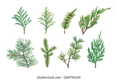 Set of Spruce, Fir, Pine or Christmas tree branches watercolor illustrations. Hand drawn realistic coniferous thuja, juniper and cypress branches isolated on white background