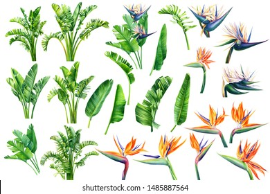 Set of Strelitzia flowers and leaves on an isolated white background, watercolor tropical plants, botanical illustration, greeting card, bird-of-paradise
