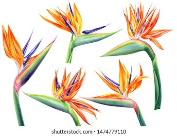 set of strelitzia flowers on an isolated white background, watercolor tropical plants, botanical illustration