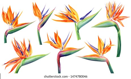 set of strelitzia flowers on an isolated white background, watercolor tropical plants, botanical illustration, bird of paradise
