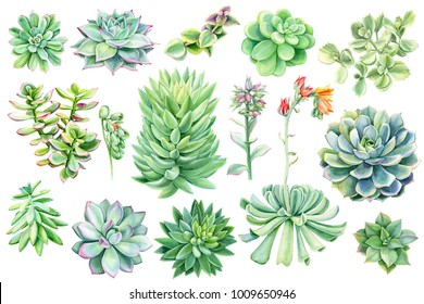 set of succulents, green bouquet, echeveria watercolor illustration, botanical painting