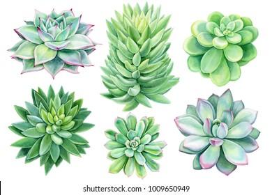 set of succulents, green bouquet, echeveria watercolor illustration, botanical painting