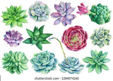 set of succulents on an isolated white background, watercolor illustration, botanical painting, Echeveria, Haworthia, blooming cactus