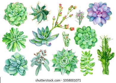 set of succulents, watercolor illustration of botanical painting, flora elements, echeveria, spurge, flower