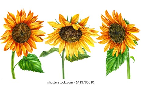 set of summer flowers, sunflowers on an isolated white background, watercolor illustration, botanical painting