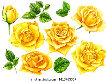 set of summer flowers, yellow roses with buds and leaves  on an isolated white background, watercolor illustration, botanical painting