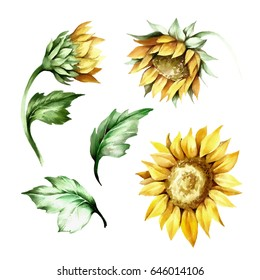 Set of sunflower. Hand draw watercolor illustration.
