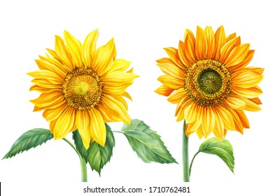set of sunflowers, flowers on an isolated background, botanical illustration, watercolor floral design