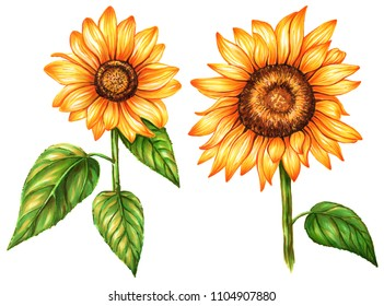 Set sunflowers isolated on white background. Watercolor and marker art. Botanical Illustration. Perfect for elemen for design, print, greeting card, wedding.