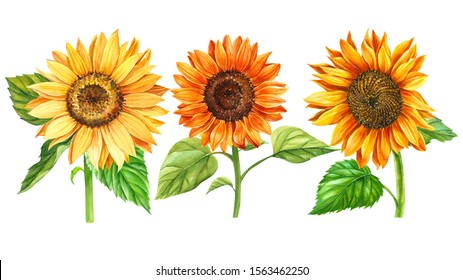 set of sunflowers on a white background, watercolor hand drawing