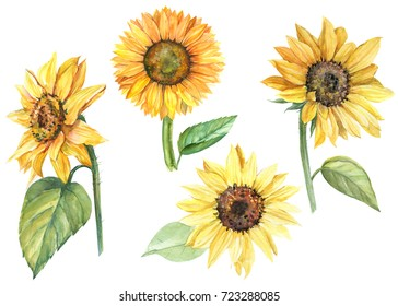 set sunflowers, watercolor botanical illustration