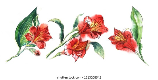 Set of thre Flower banch of red  Alstroemeria, big blooming blossom, small bud, huge green leaf. Hand drawn watercolor illustration. Isolateed on a white background.