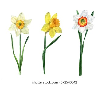 Set of three watercolor daffodils of different varieties. Spring flowers.