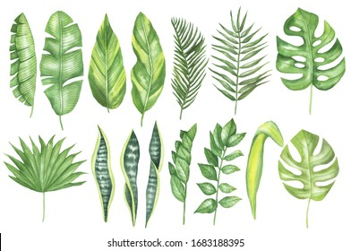 Set of tropical leaves: monstera, banana, zamioculcas, palmetto fan palm, sago palm, areca palm, shell ginger plants, snake plant. Isolated elements on a white background. Watercolor hand drawing.