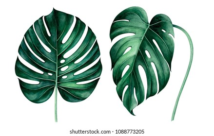 Set of tropical monstera leaves isolated on white background. Watercolor hand drawn illustration.