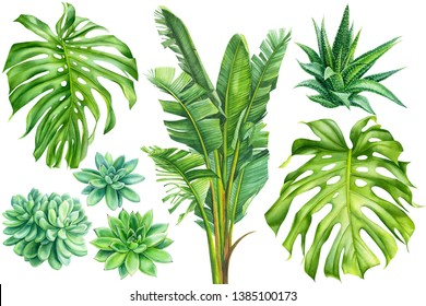 set of tropical plants, banana palm, succulents, haworthia, monstera leaves on an isolated white background, watercolor illustration, hand drawing, botanical painting