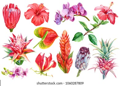 set tropical plants, flora watercolor illustration, botanical painting, hand drawing. Element wedding, flowers anthurium, orchid, guzmania, hibiscus, bromeliad, pink pineapple, protea