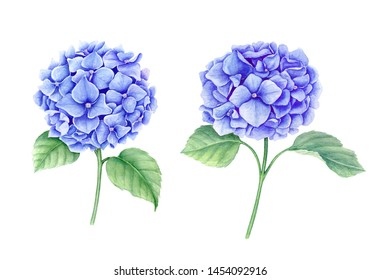 Set of two blue Hydrangea flowers isolated on a white background suitable for spring card or other floral designs